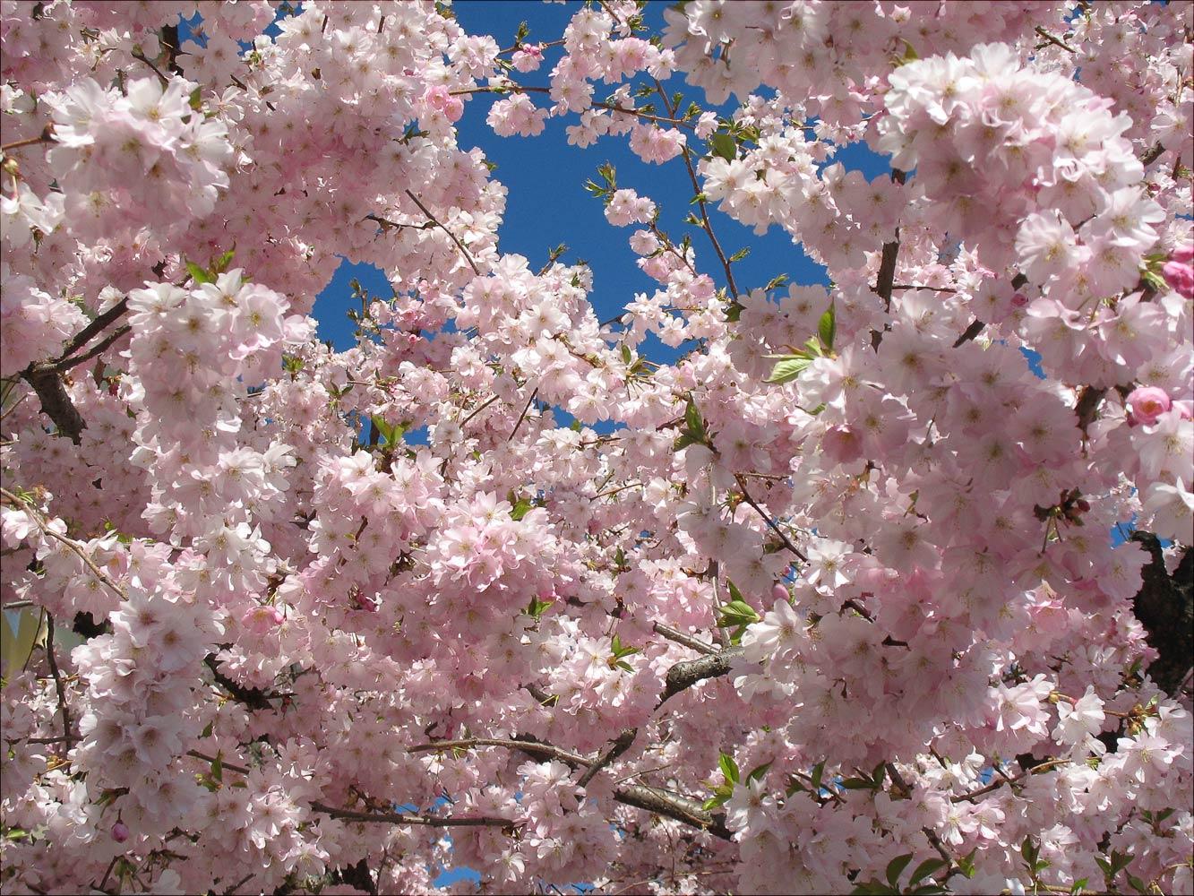 Цветущая сакура в Дрездене
