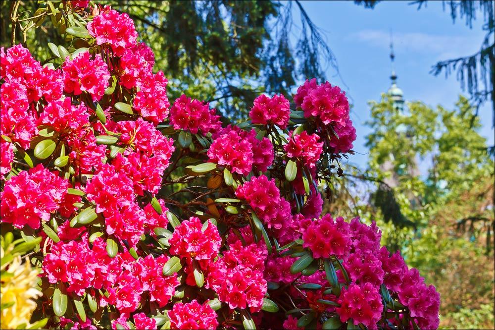 Цветущие рододендроны в Пругоницком парке, южнее Праги