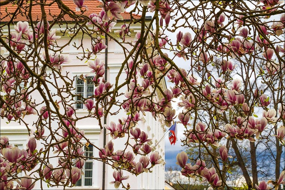 Чехия. Цветущая магнолия во дворцовом парке Влашим (Vlasim)
