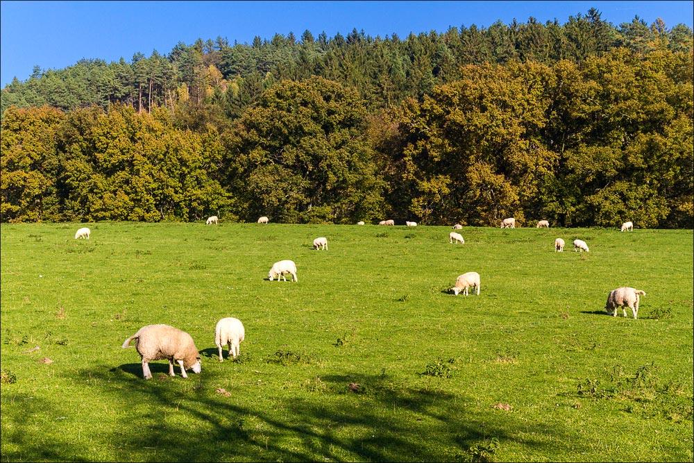 Пасущиеся овцы в окрестностях Ондржейова, туристическая область Ладув Край, Чехия