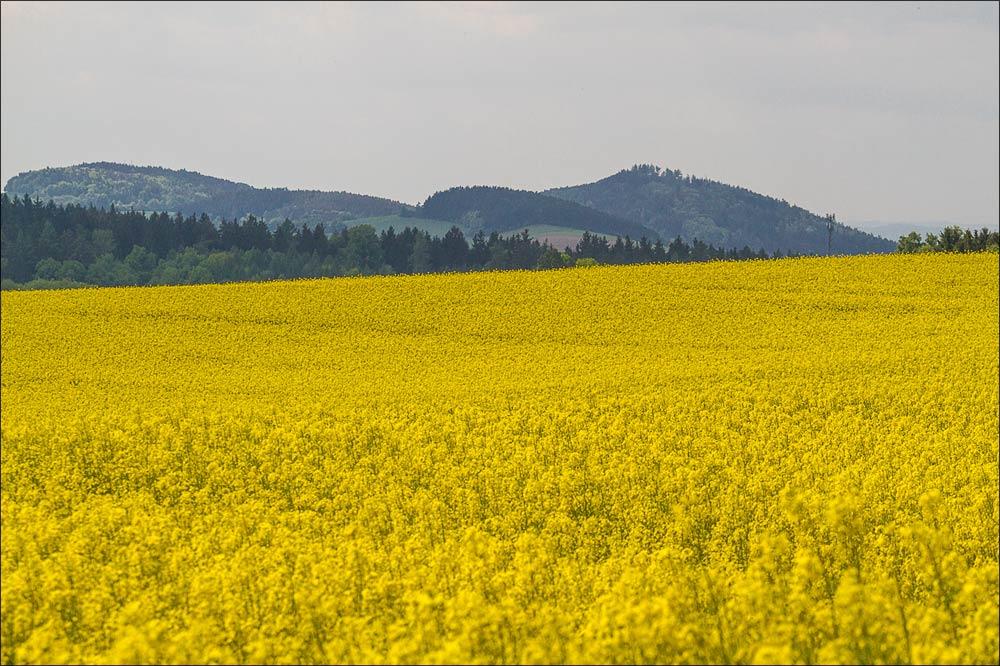 Цветущий рапс и вид на окрестные холмы из Ондржейова, туристическая область Ладув Край,Чехия