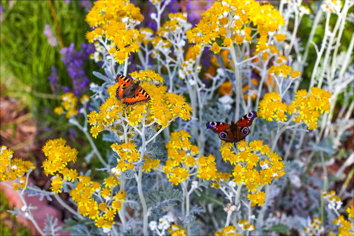 Цветение, бабочки