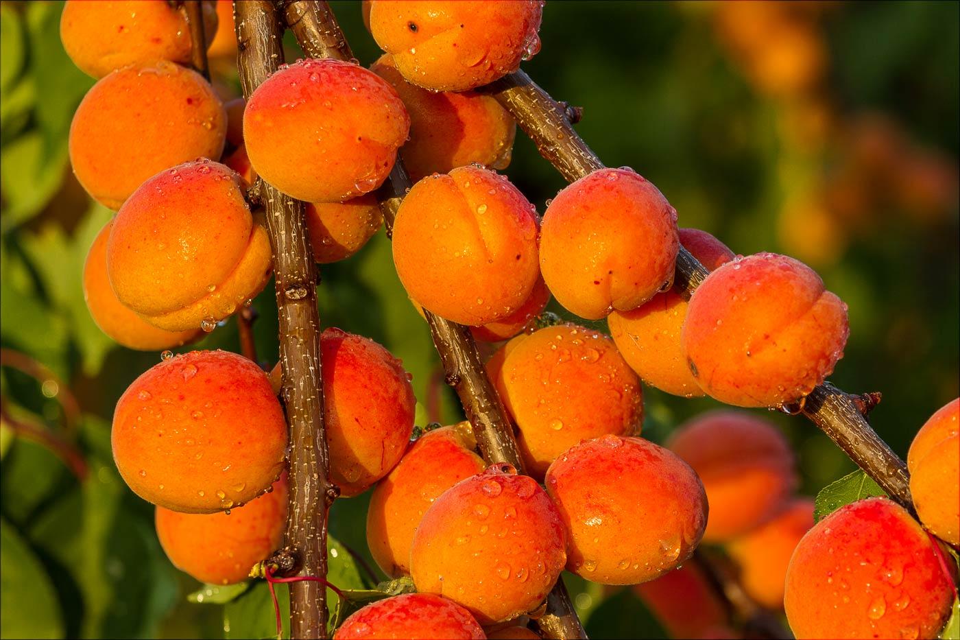 Урожай абрикос, Чехия, Нупаки