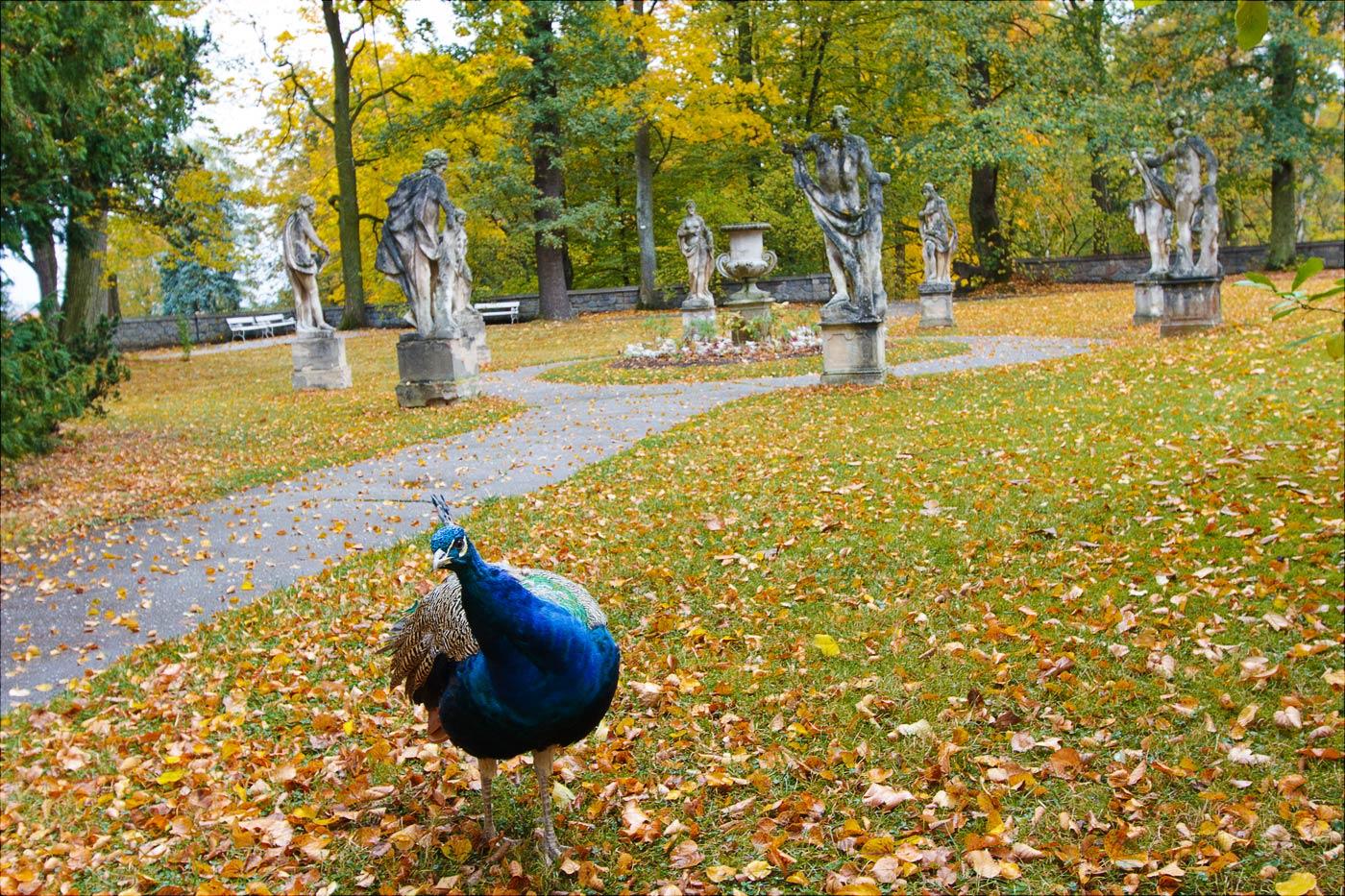 Любопытный павлин в Конопиштском парке, Чехия