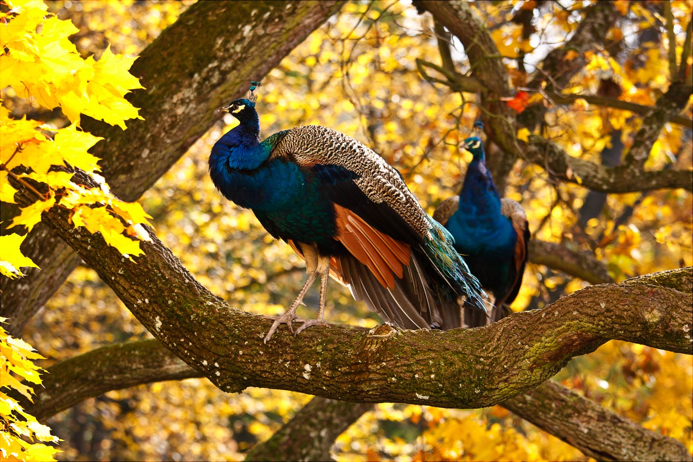 Павлины, золотая осень в Конопиштском парке, Чехия