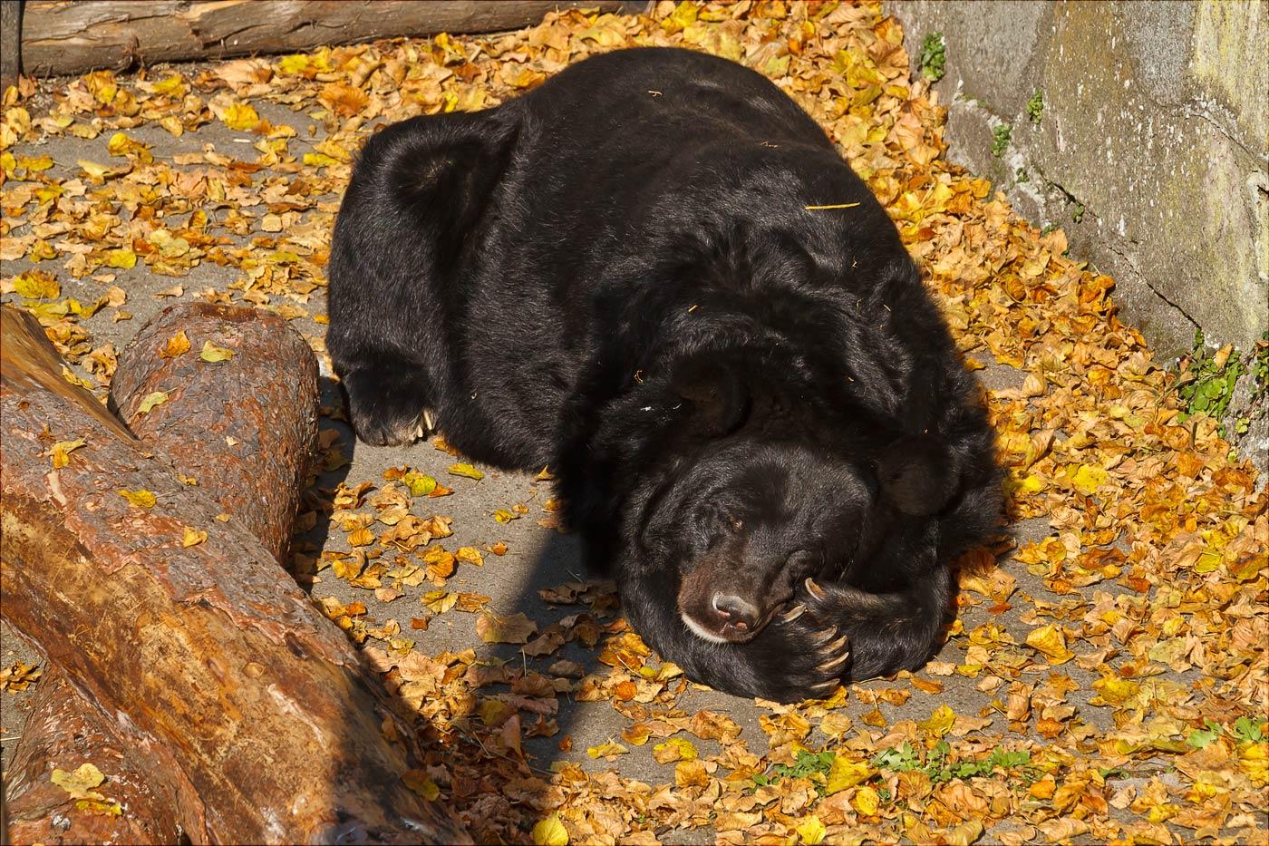 Медведь в Конопиште, Чехия