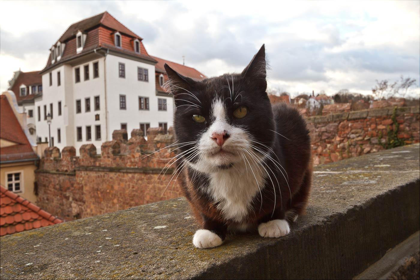 Майсенский кот