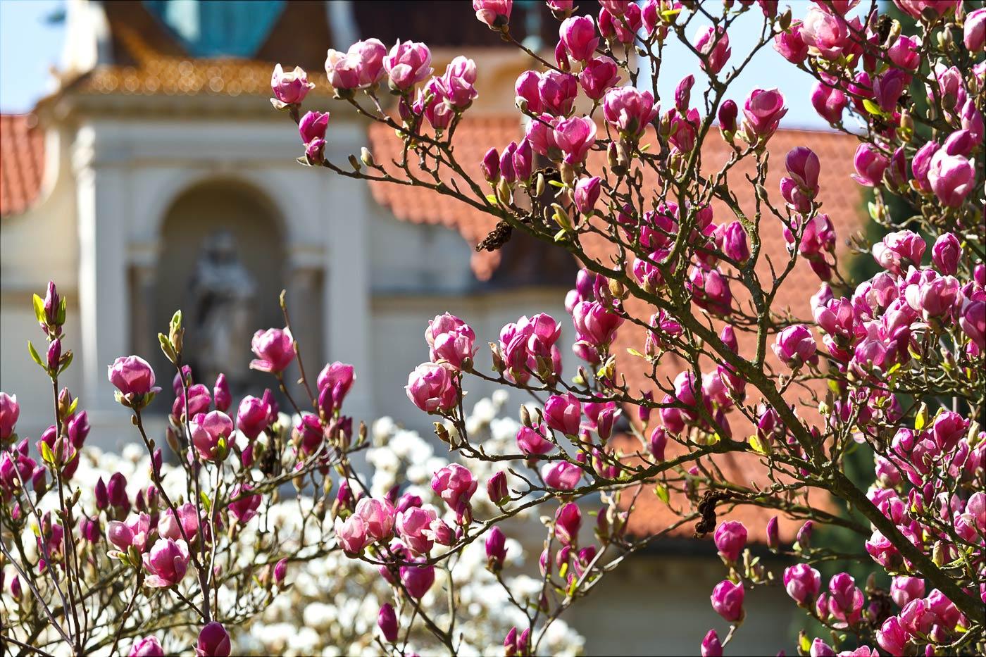 Цветение магнолий в замке Пругонице