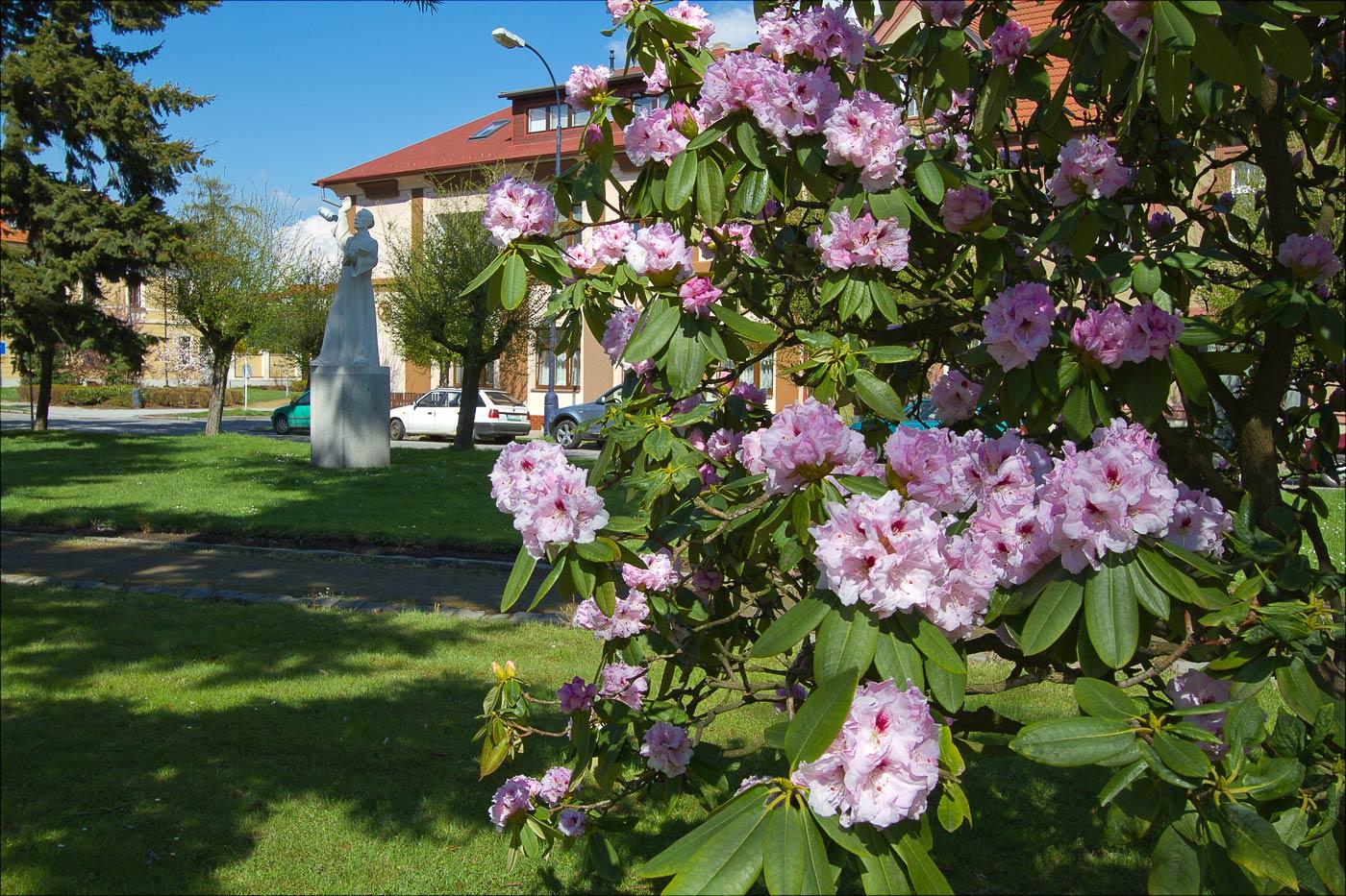 Цветение рододендронов в Бенешове