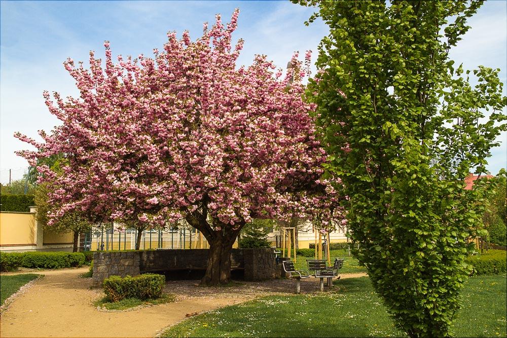 Цветущая сакура, Бенешов, Чехия | Kvetoucí sakura, Benešov, Střední Čechy