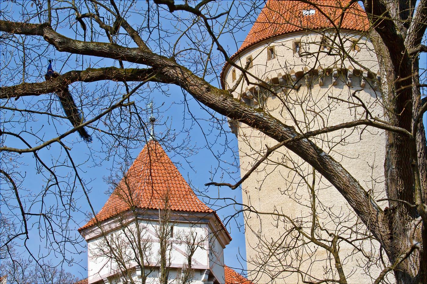 Павлины в парке замка Конопиште