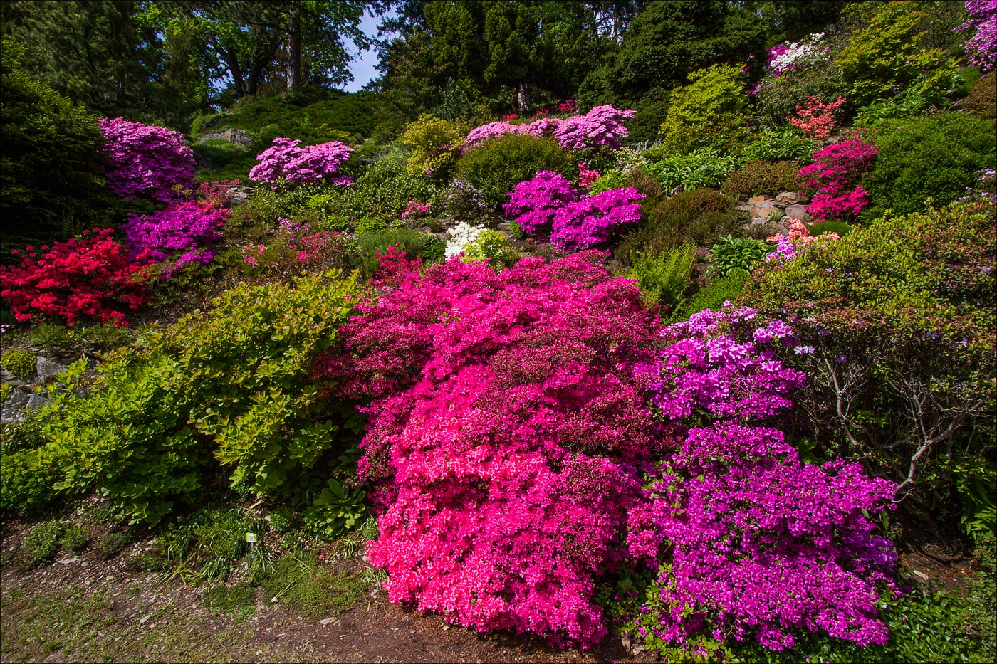 Цветущие рододендроны в Пругоницком парке