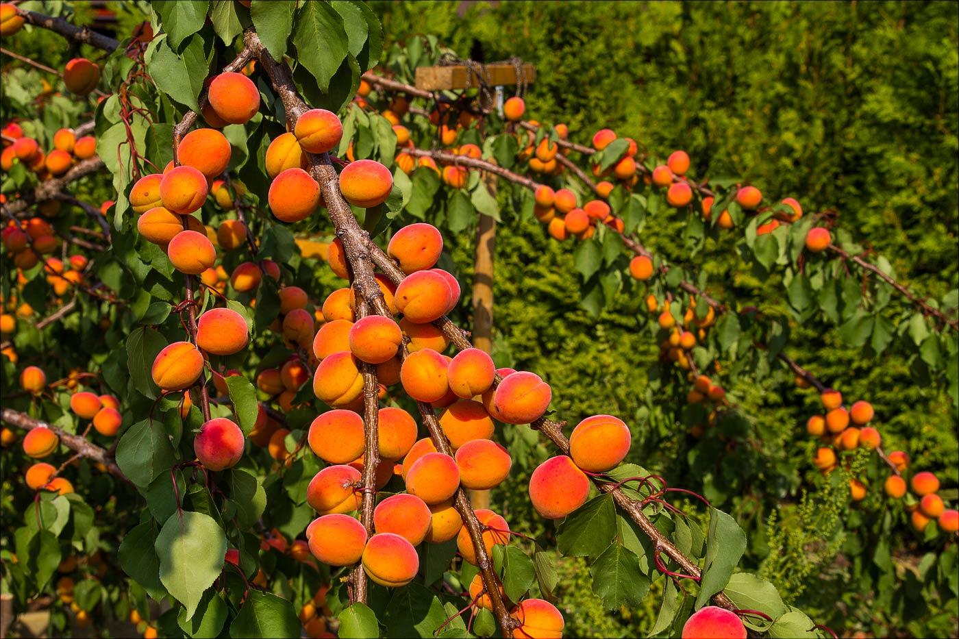 Наш урожай абрикос