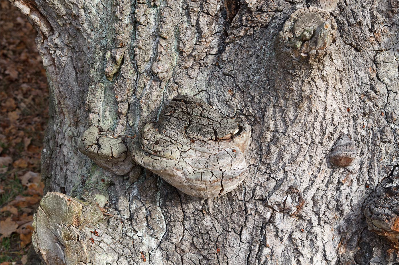 Старое дерево в Конопиштском парке