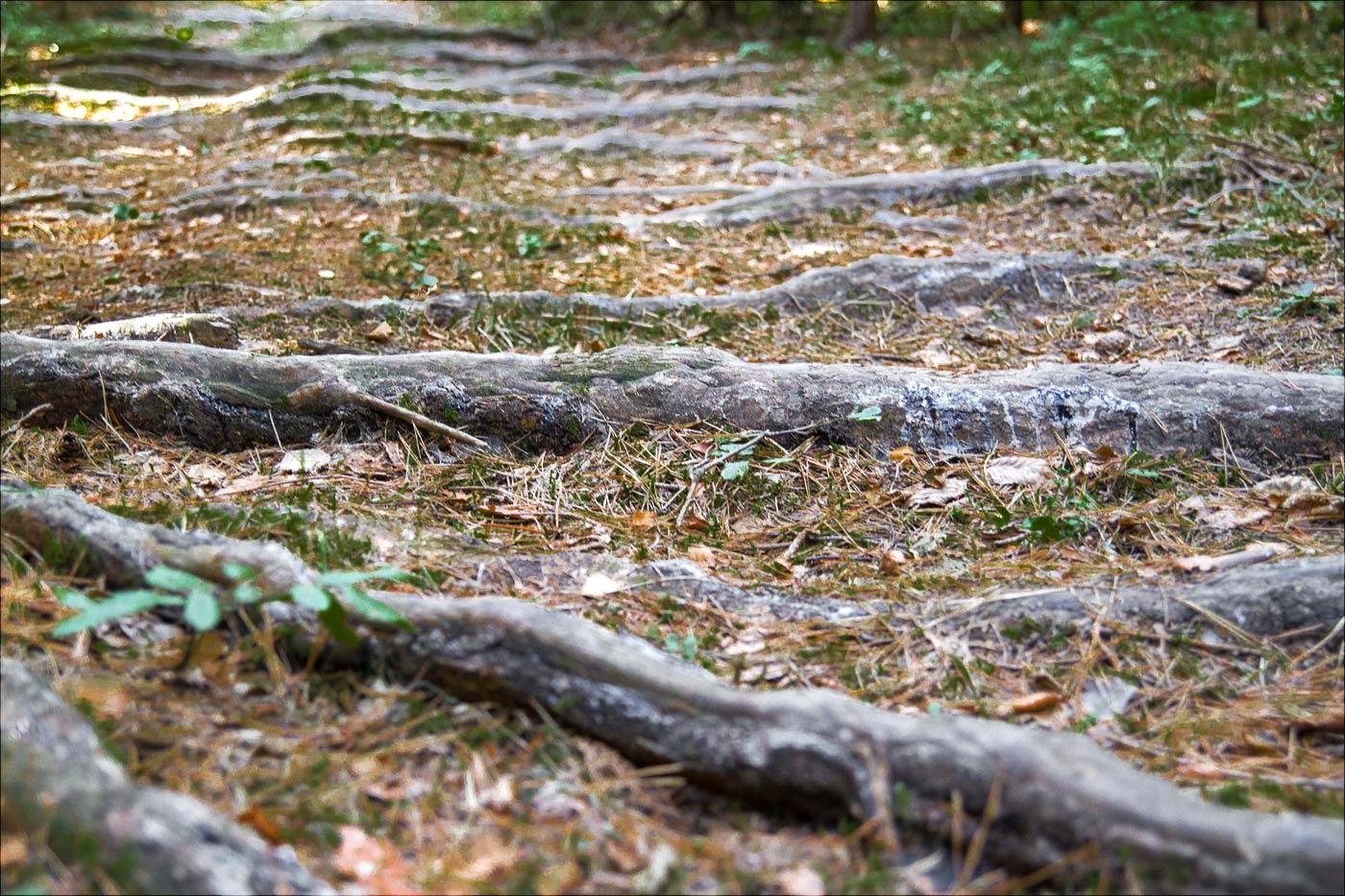 Тропа под старыми деревьями