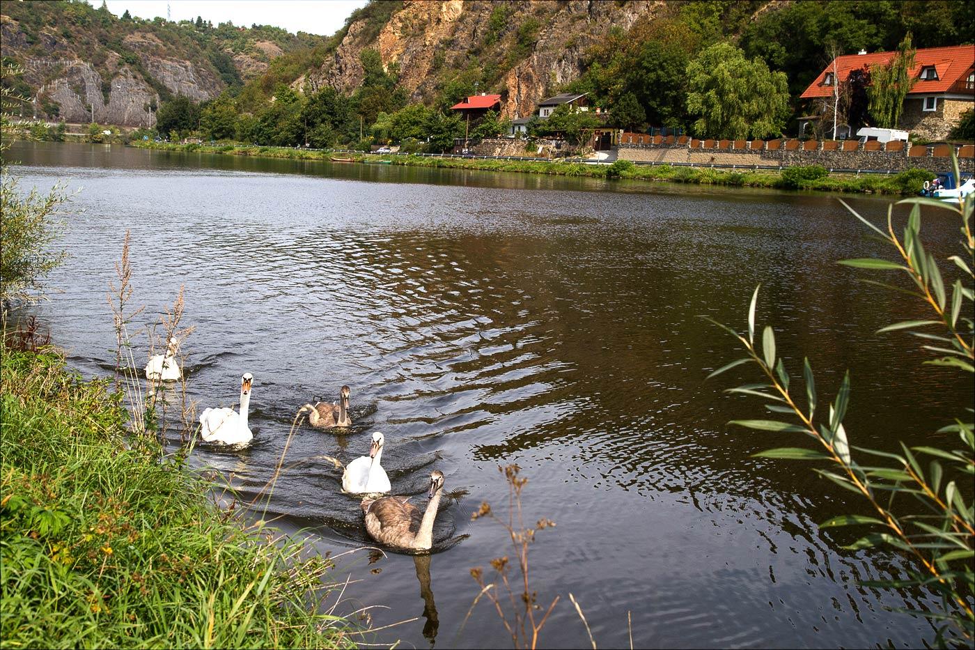 Лебеди на Влтаве