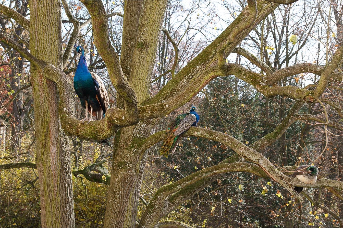 Павлины в Конопиштском парке