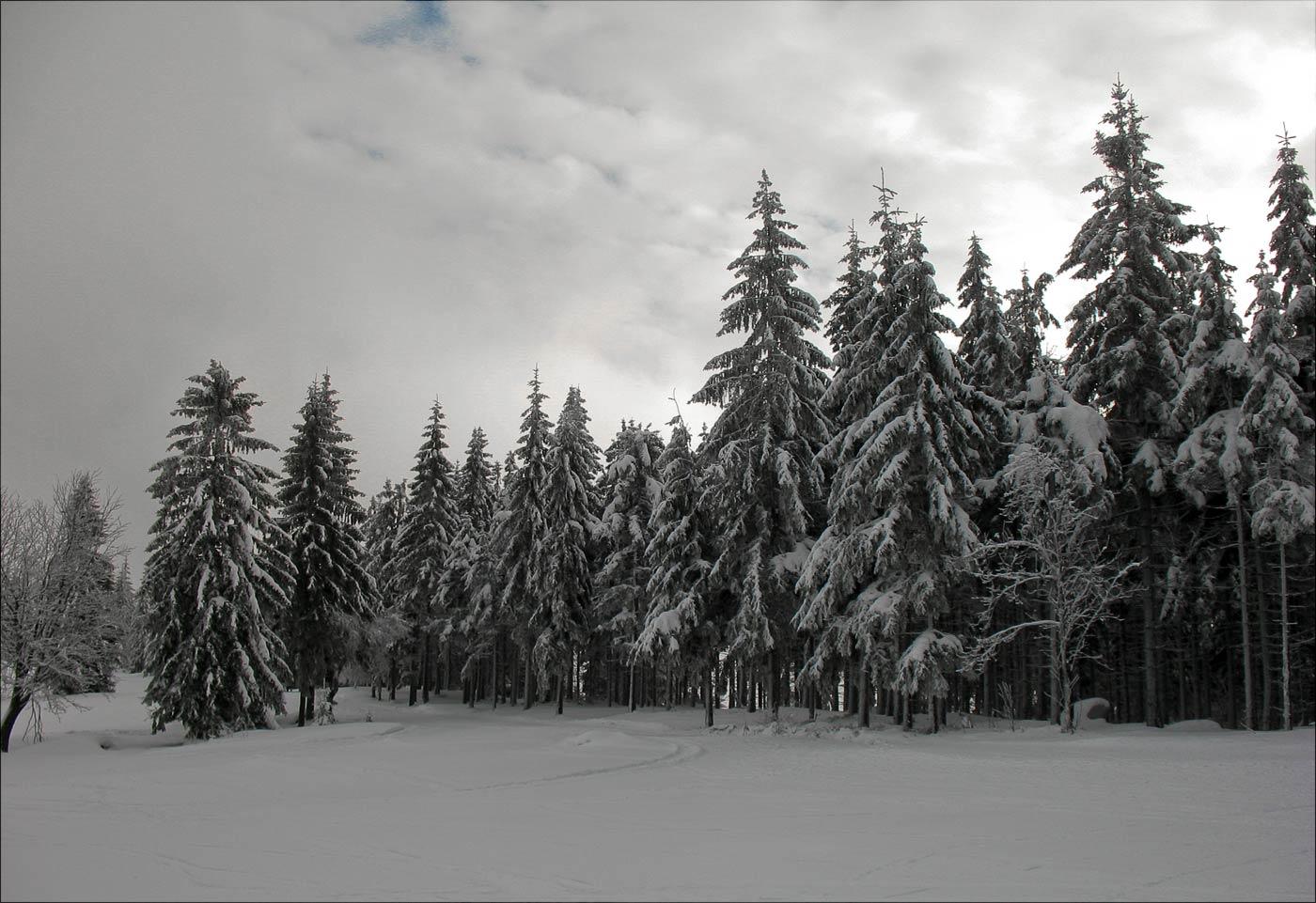 Заснеженные ели возле лыжного ареала Бедржихов