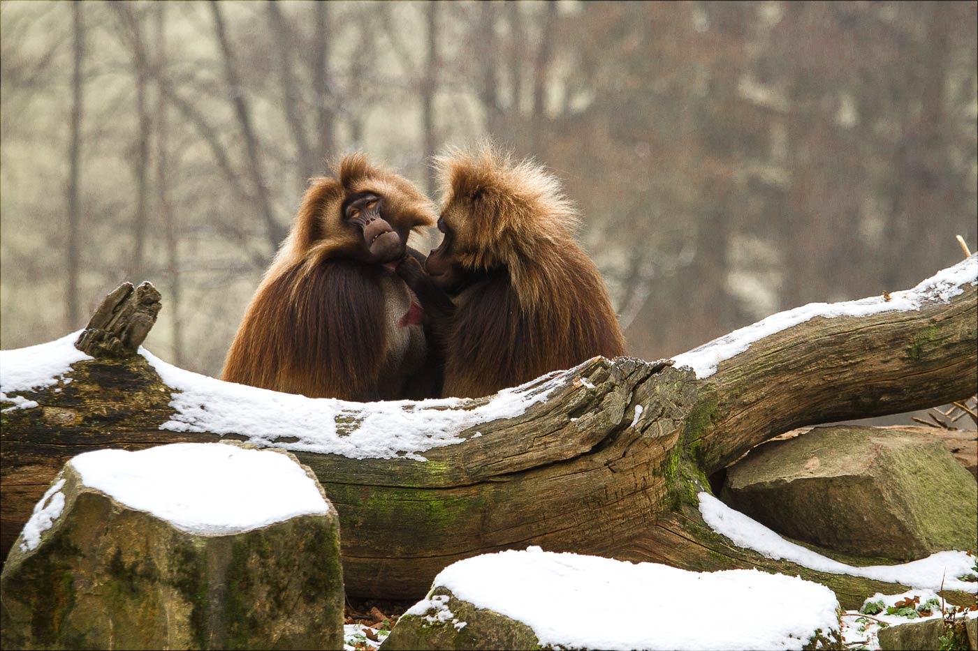 Павианы в зоопарке Злин