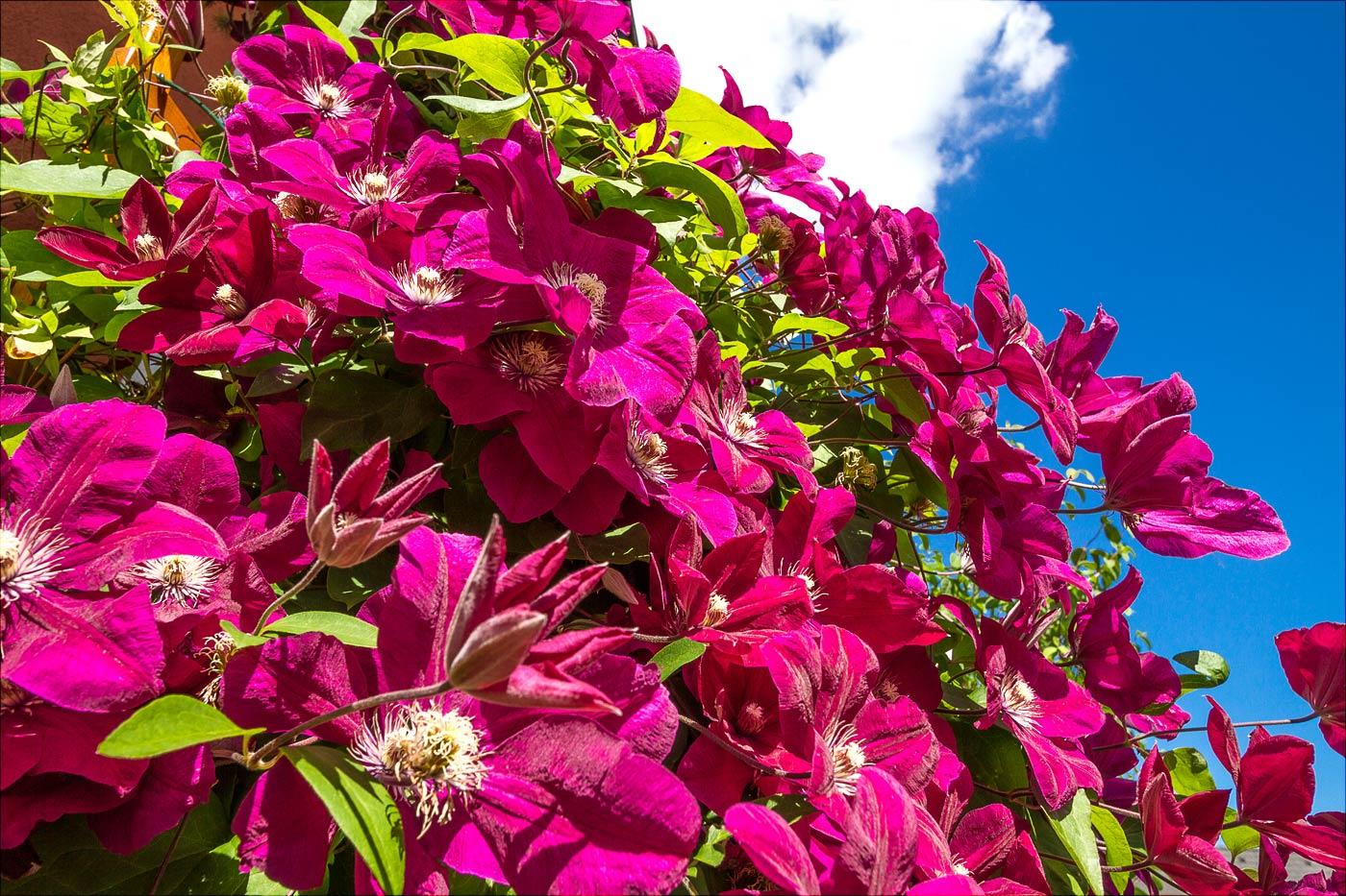 У нас во дворе: Клематис цветет