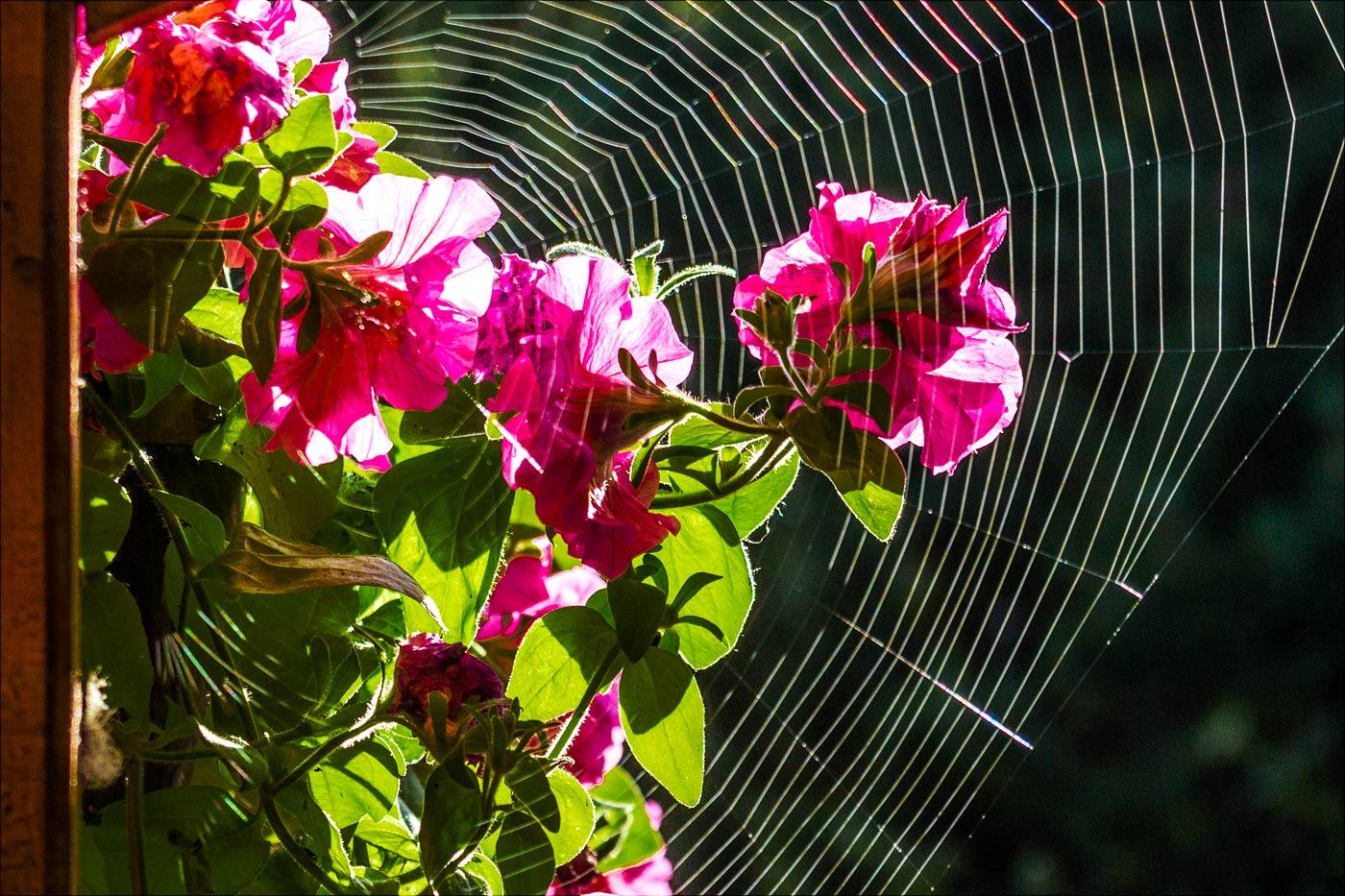 Утро в саду, паутина.