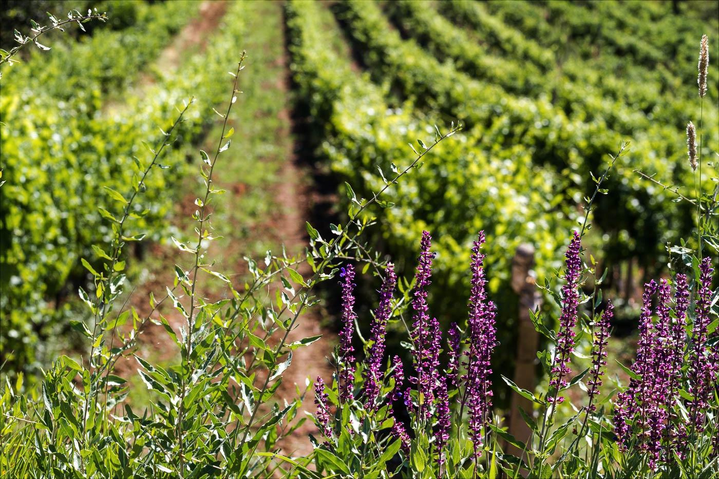 Виноградники в Велке Биловице, Южная Моравия