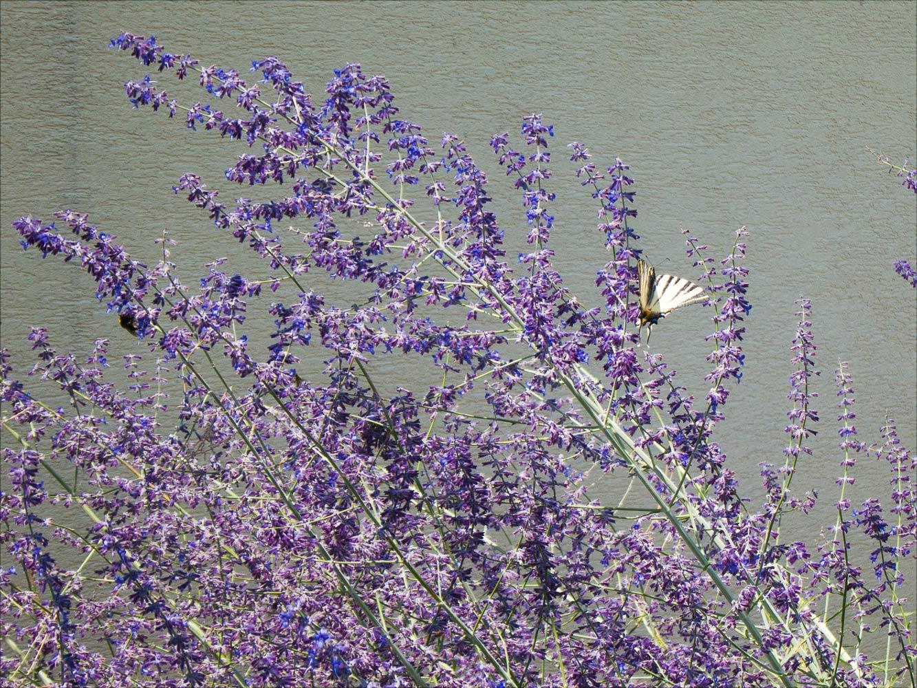 Бабочка-парусник, Южная Моравия
