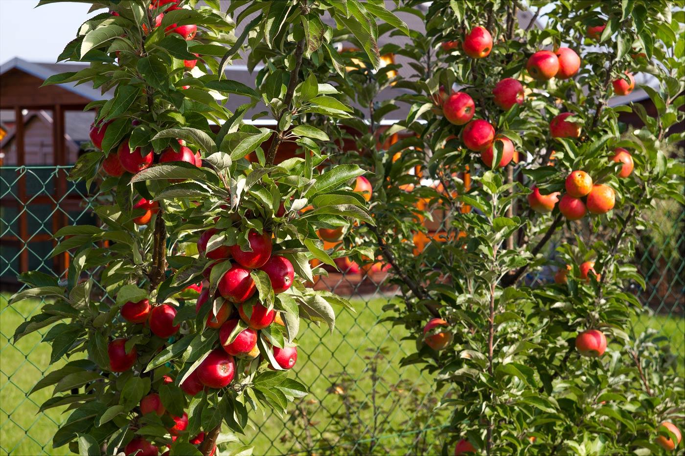 Яблони в нашем саду