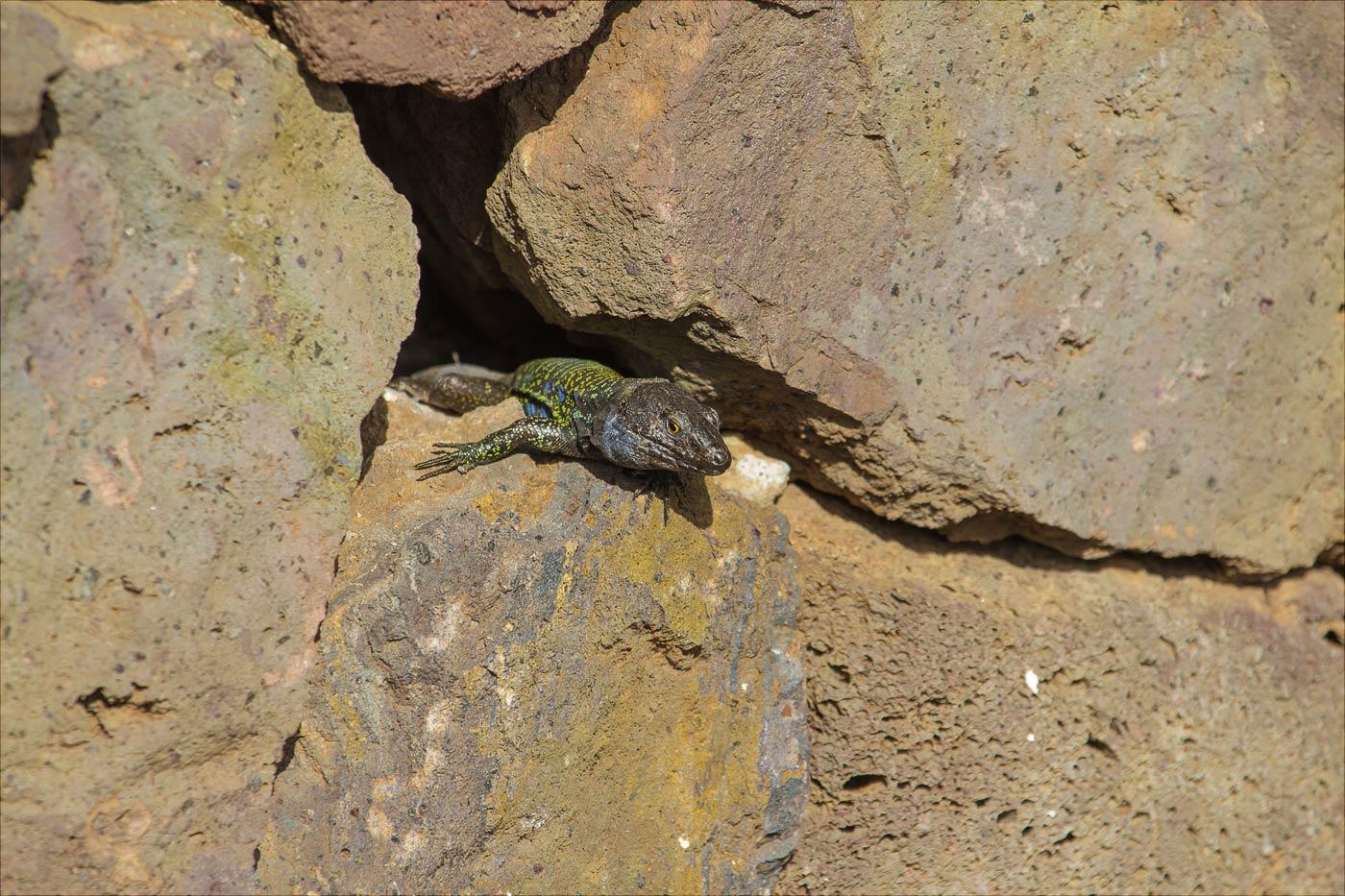 Ящерицы в парке Сортиха в Пуэрто-де-ла-Круз