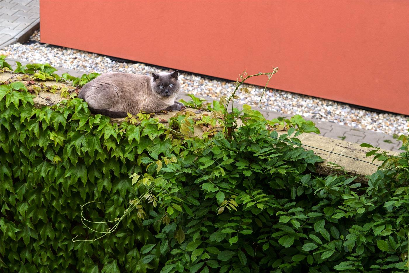 Кот Кашкет на прогулке по саду