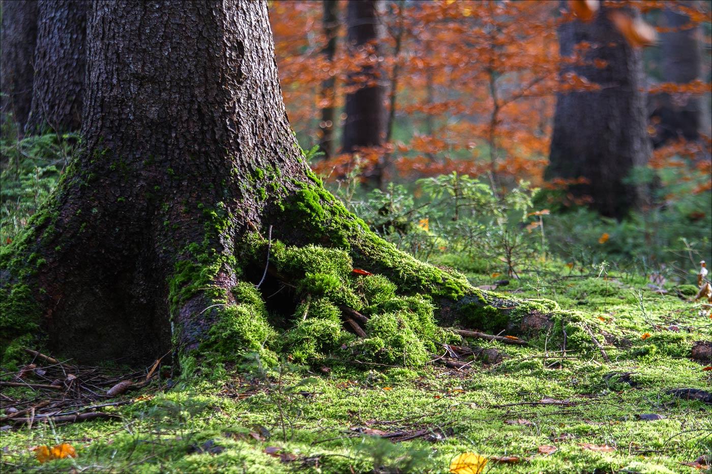 Замшелые корни, Павлинин каньон, Чешская Швейцария