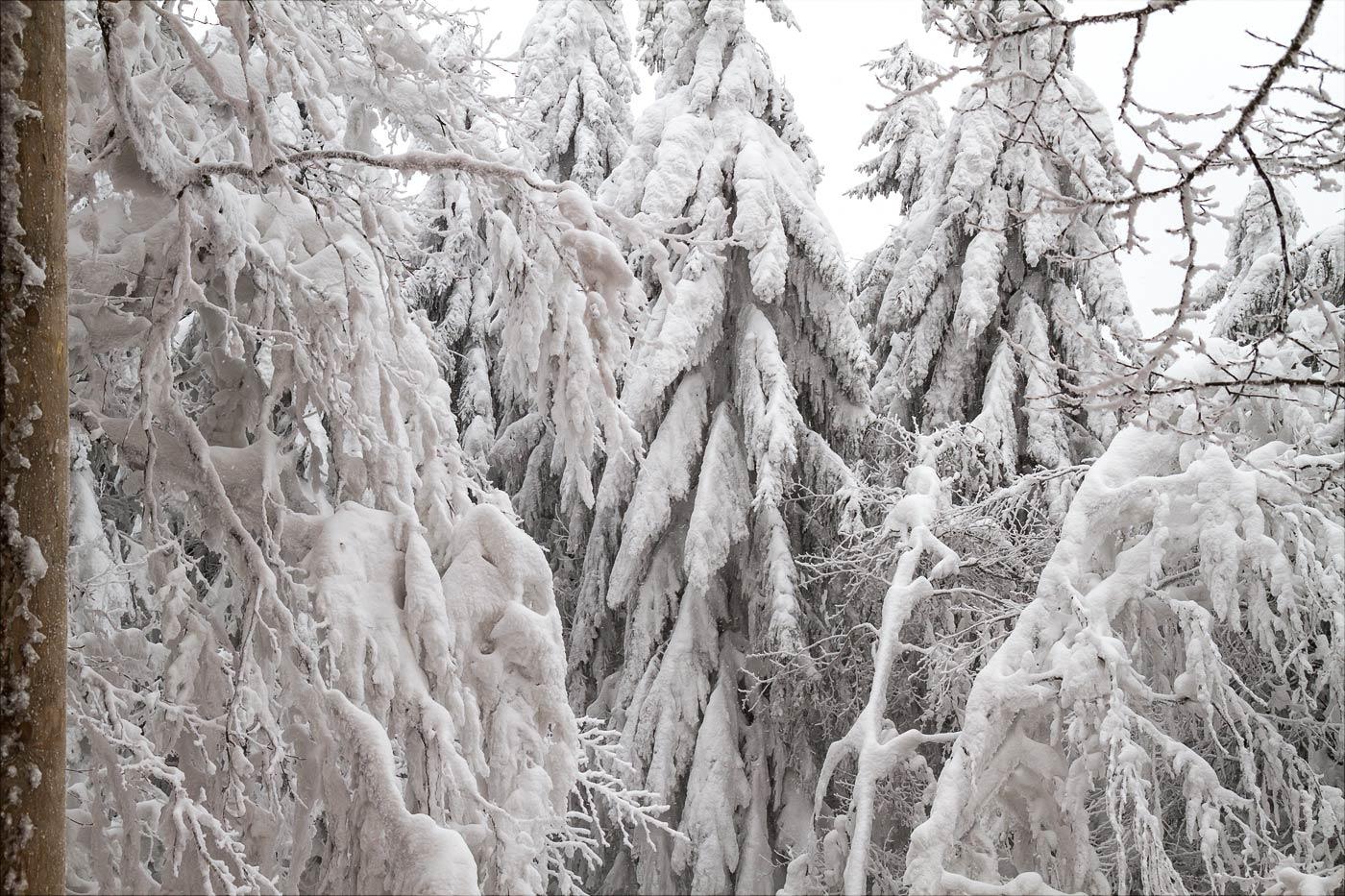 Тропа в кронах деревьев, Пустевны, Бескидские горы