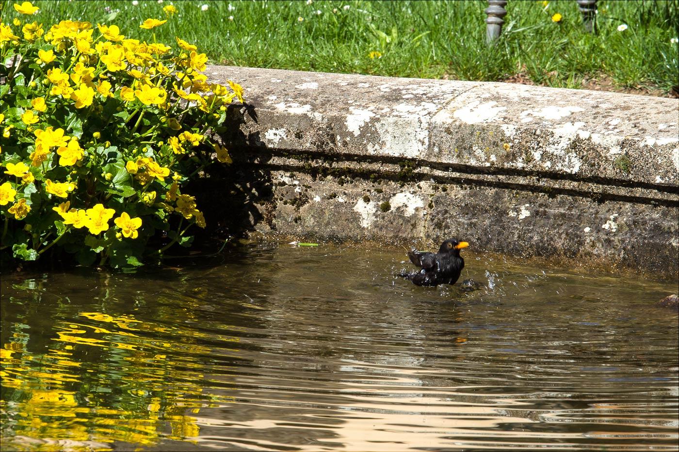 Дрозд купается в фонтане
