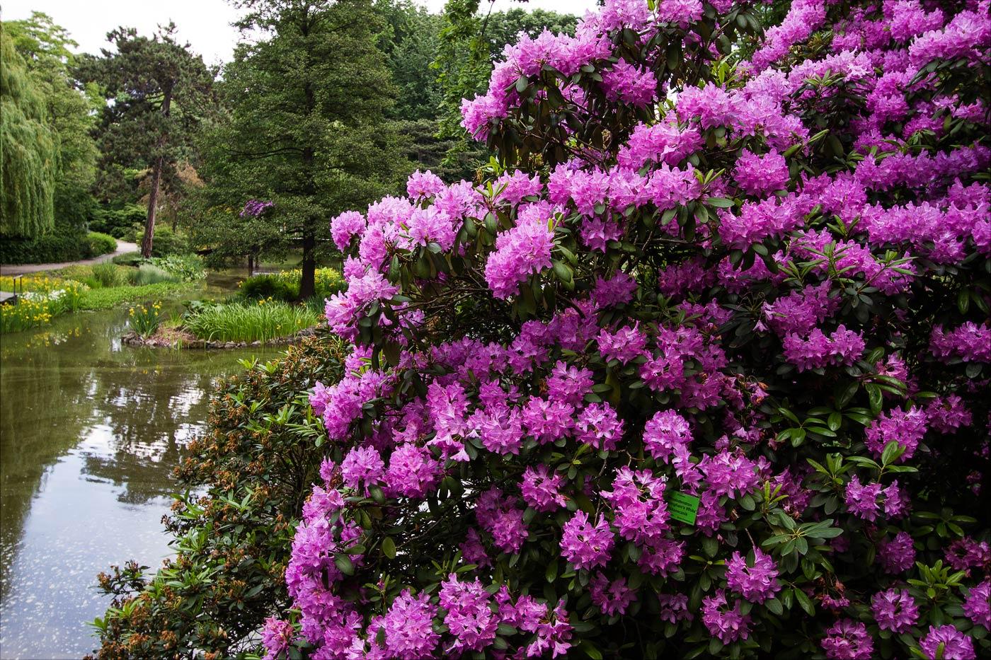 Вроцлав, цветущие рододендроны в ботаническом саду