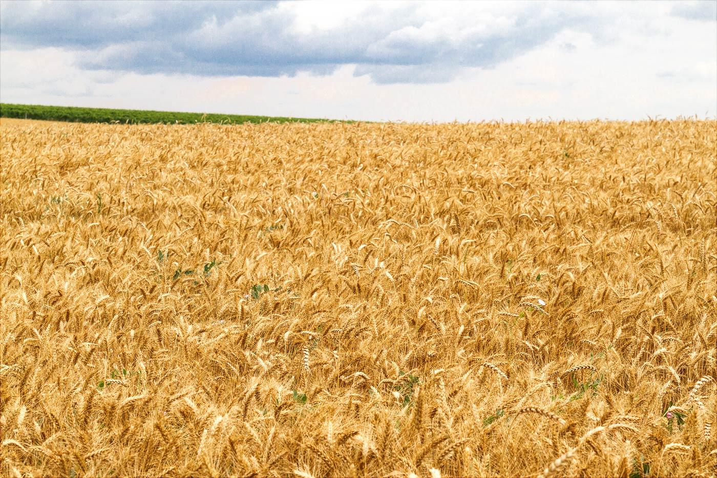 Пшеница созрела