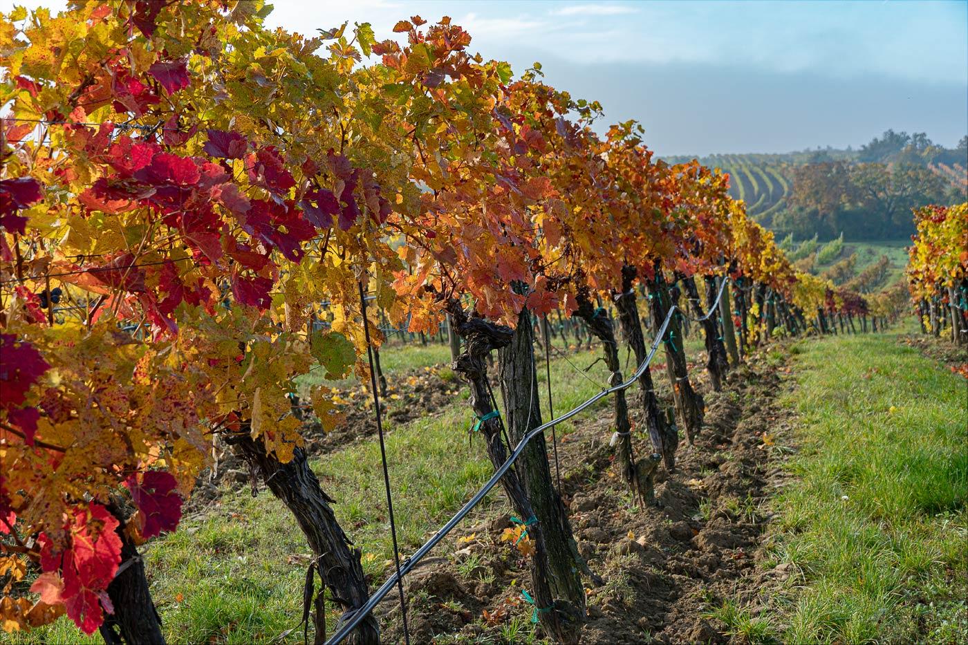 Осенние виноградники, Австрия