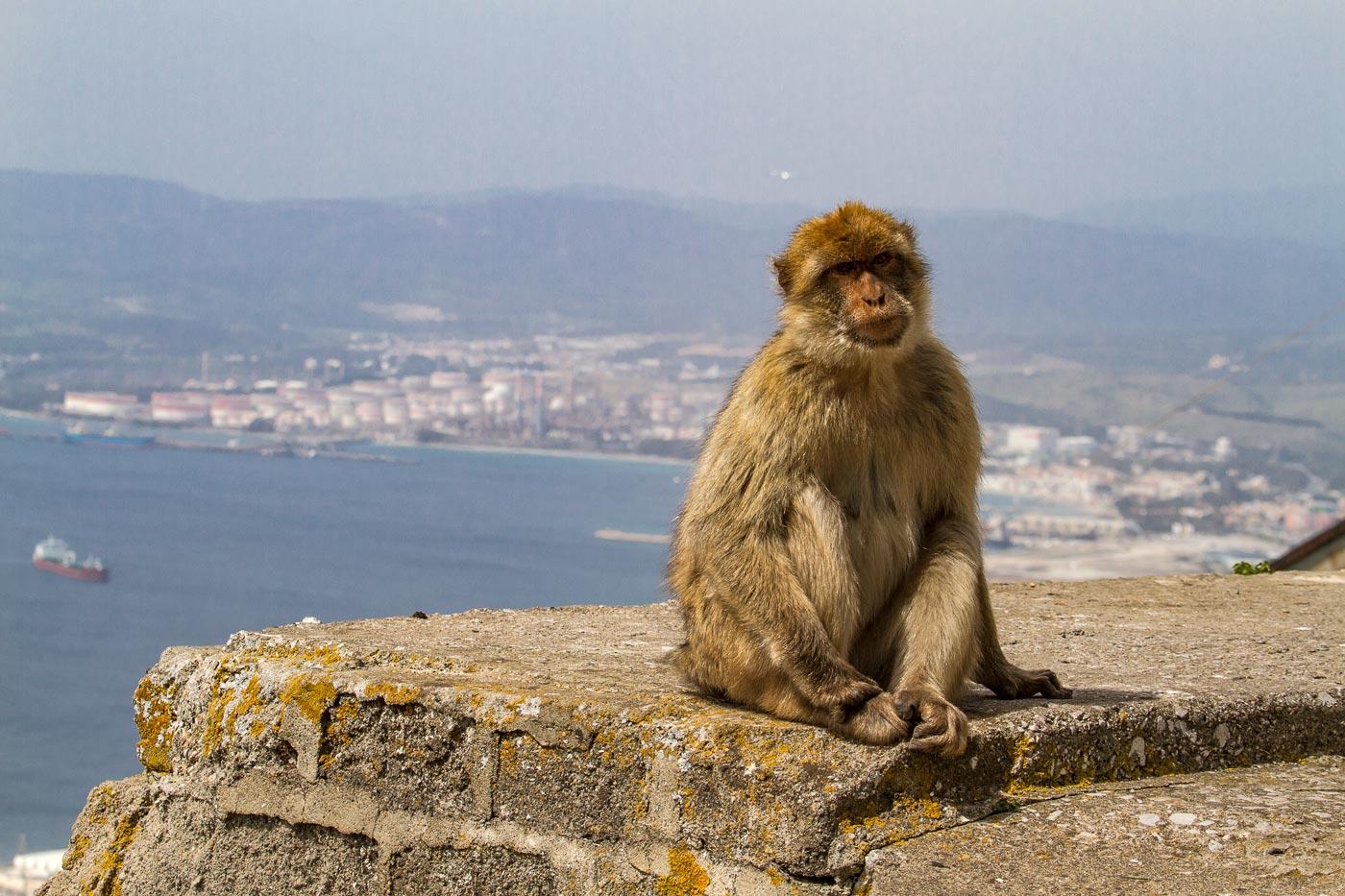 Гибралтарские обезьяны
