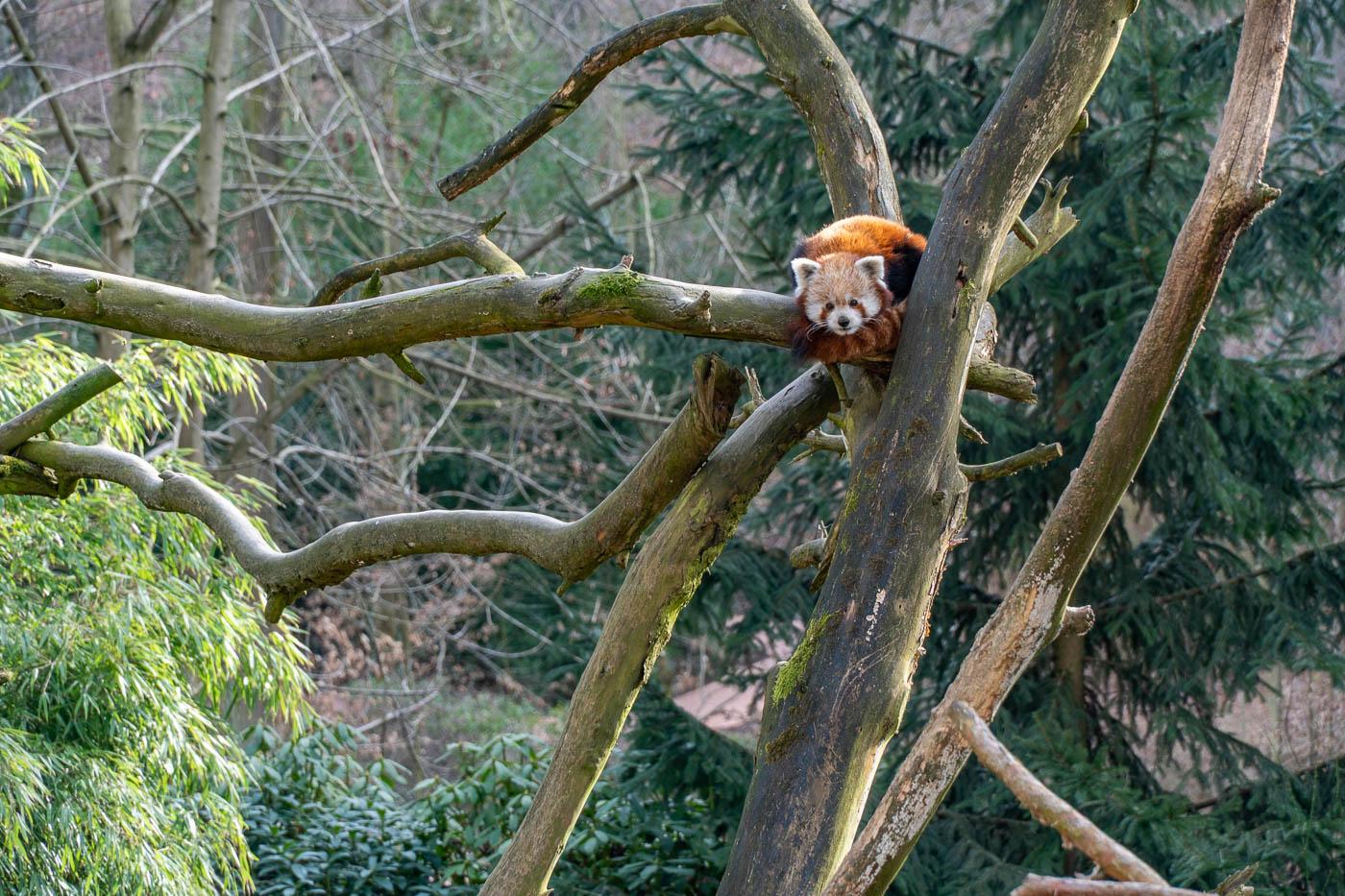 Красная панда, Злинский зоопарк