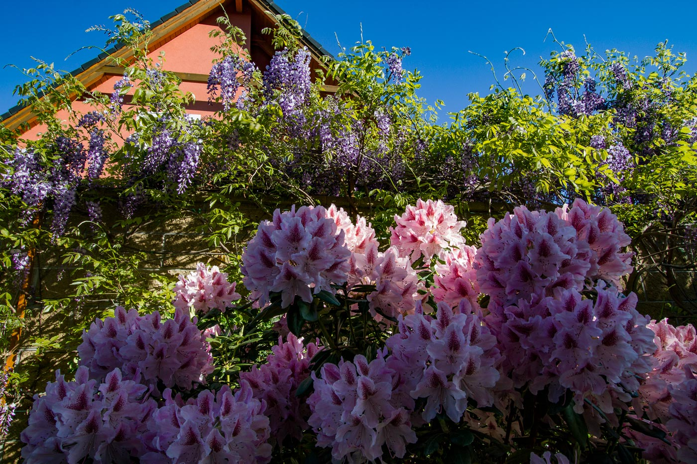 Цветут рододендроны и глициния