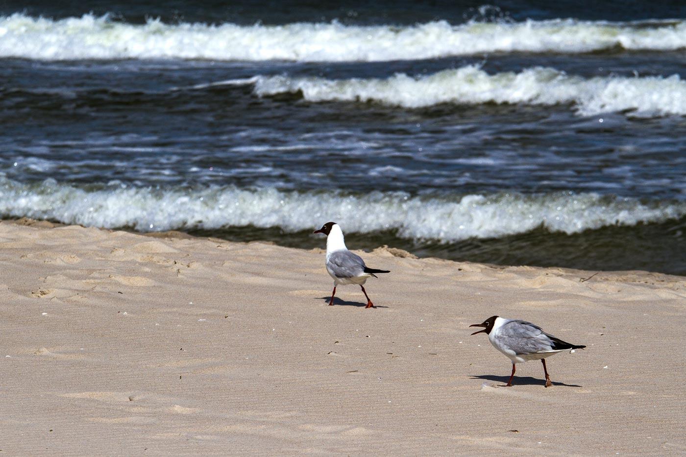Чайки на Балтийском море, Мржежино