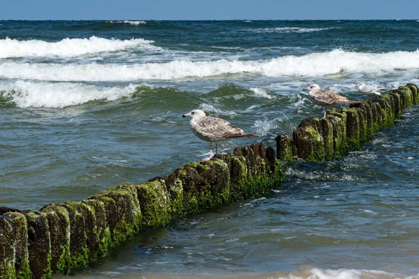 Чайки, Балтийском море, Мржежино, Польша