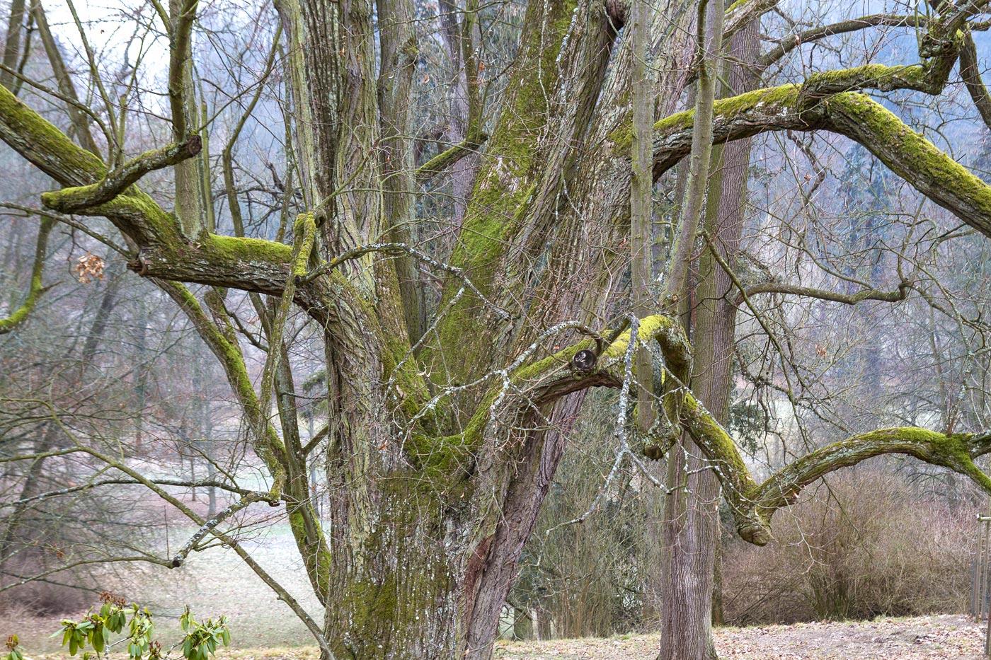 Вековые деревья в Конопиште