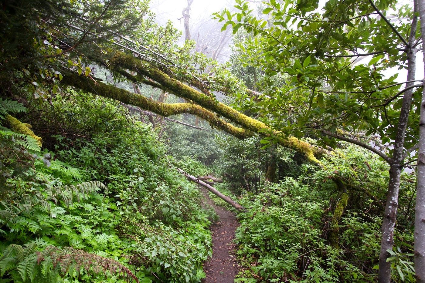 Тенерифе, вечнозеленые влажные леса в горах Анаги