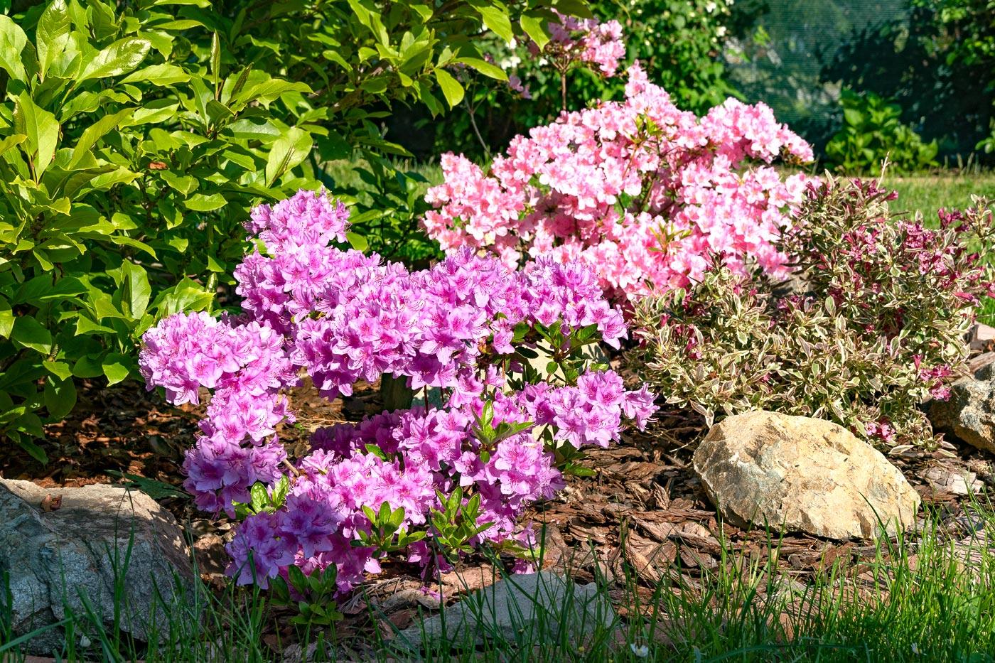 Цветущие азалии у нас в саду