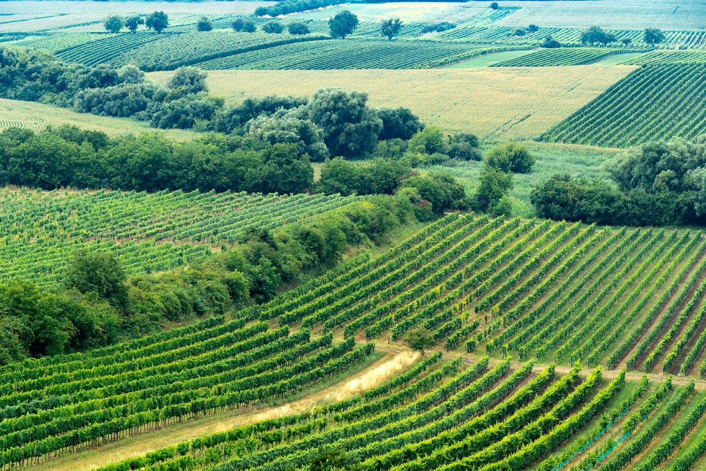 Виноградники у Велке Биловице, Южная Моравия
