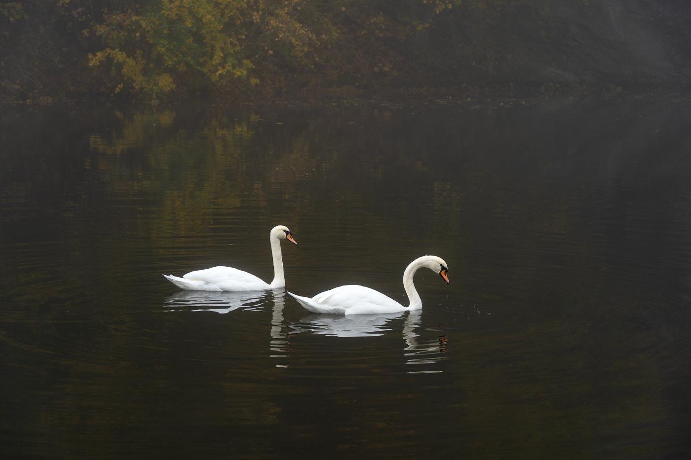 Лебеди у замка Вранов над Дийи